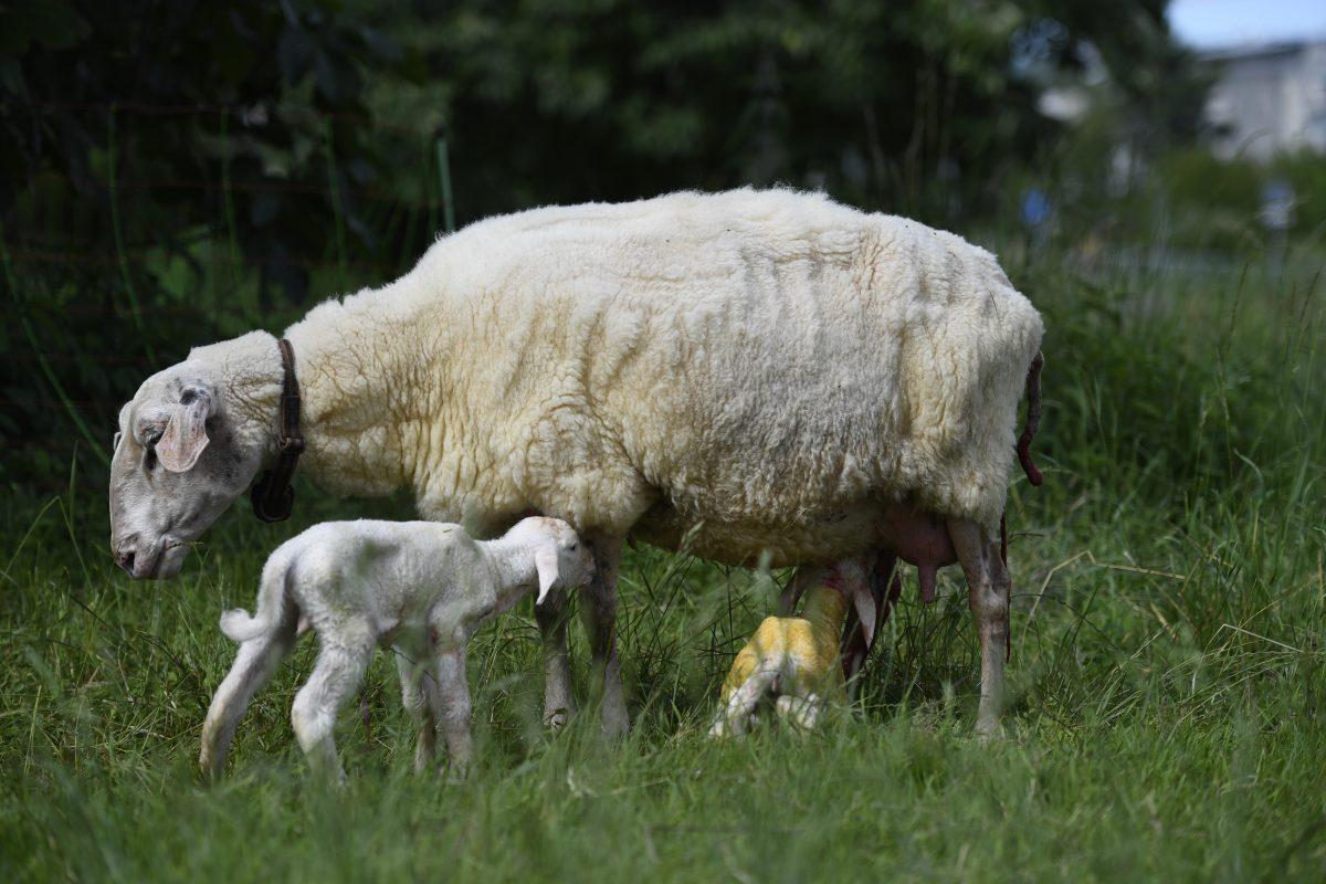 Deux agneaux, tout juste nés à la ferme de Bassenges. Crédit photo:  ferme de Bassenges.